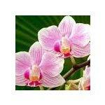 les amis des orchidees