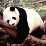 panda_calme