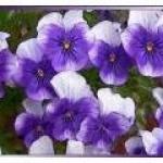violette2005violet