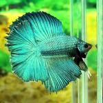 fishette