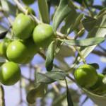 olive-verte