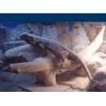 dragonbarbu