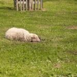 green-sheep57