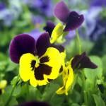 Avatar de fleur-des-jardins