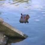 paraange-hippo