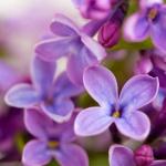 liliowy