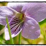 ultra_violette