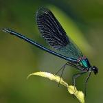 libellules10