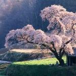 cherry-tree0