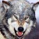 wolf134