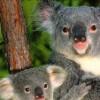 bebe-koala8