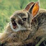 lapin-loup