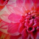 rose-surprises-romantiques