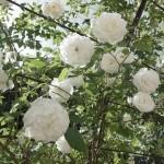 fleur-de-lys91