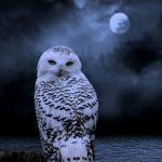 ibis-noctua