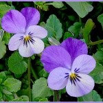 violette_44