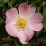 eglantine-fleur-de-laitue