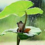 rainette-rose