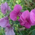fleurdepois