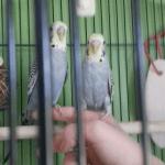 liselovebird