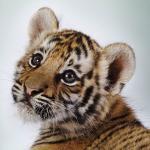 kleine-tigerin