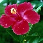 hibiscus31