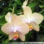 orchidee-n