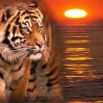 tigressse65