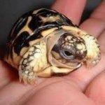 little-turtle1