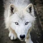 wolfsangel2701