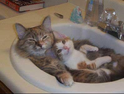cats-kitten-sink