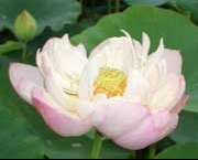 lotusdouble2