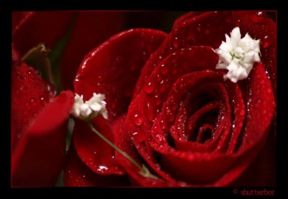 roselargeredwaterdrops