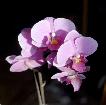 orchidee-couleur
