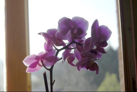 orchidee-couleur-fenetre