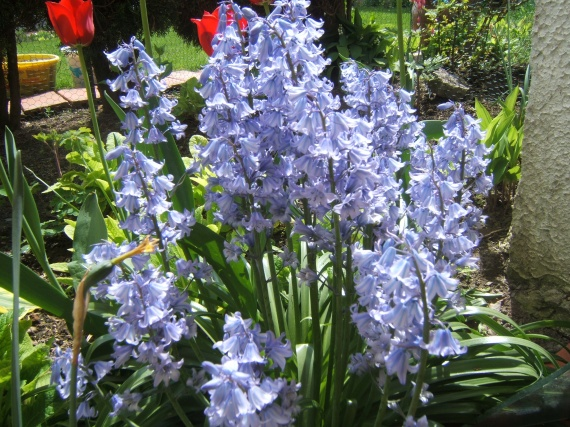 » photos » fleurs » muguet sauvage bleu de printemps 2009