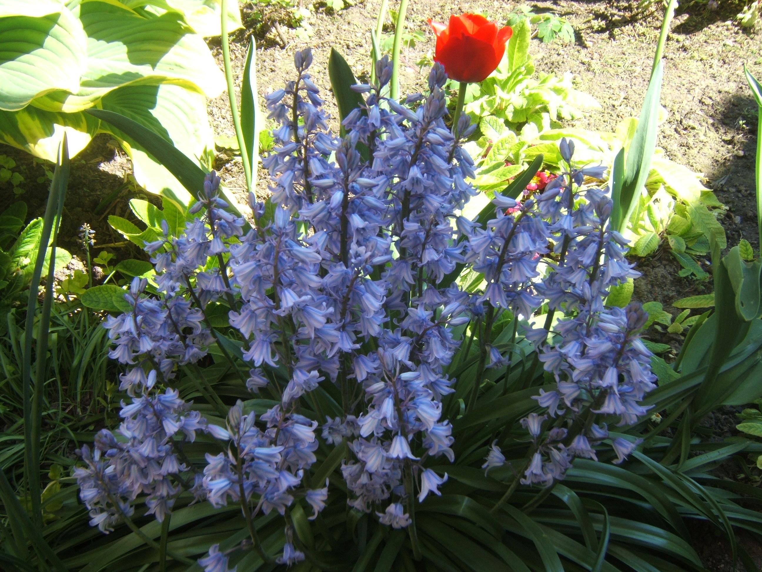 Muguet bleu avril 2009 printemps fleurs jardin fleurs for Fleurs jardin printemps