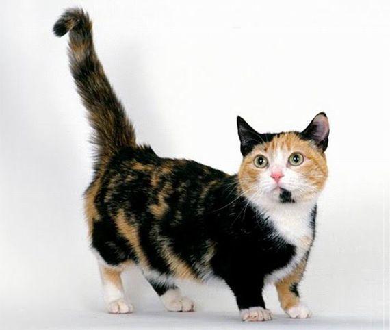 Munchkin_cats_05