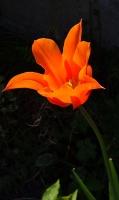 tulipe_rouge_contraste-1