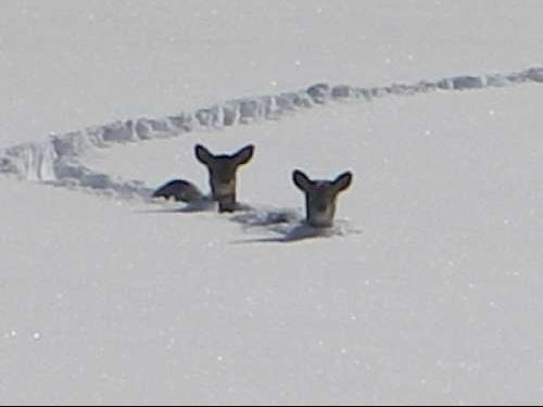 Chevreuils dans la neige