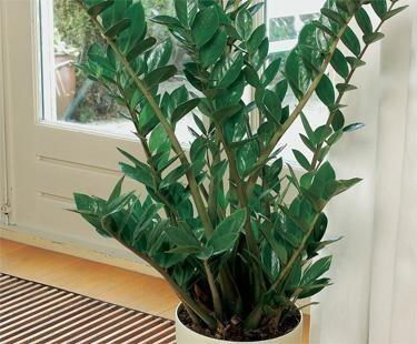 Zamioculcas (Zamioculcas zamiifolia)