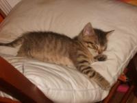 GRISOUILLE chaton