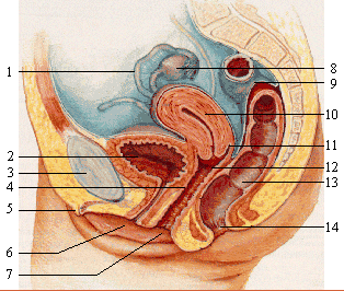Female_reproductive_system_lateral_nolabel.png1.