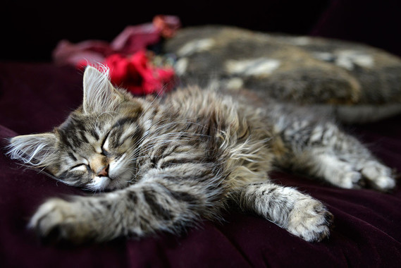maine coon charente