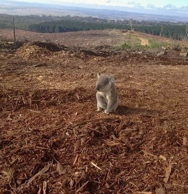koala Déforestation en Australie