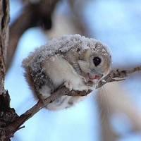 écureuil du Japon
