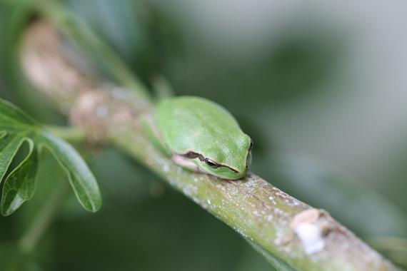 grenouillette