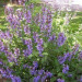 sauge-officinale-salvia-officinalis-jeune-plant
