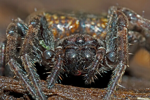 Araignée des fissures