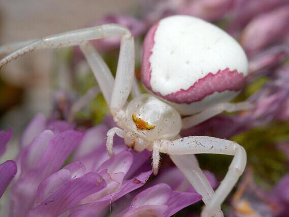 araignee-crabe